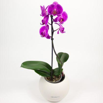 орхидея аренда