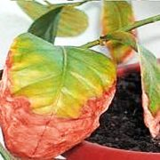 чернеют и скручиваются листья — требуется обработка !
