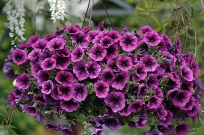 петуния - выращивание петунии