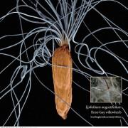растения под микроскопом — иван — чай