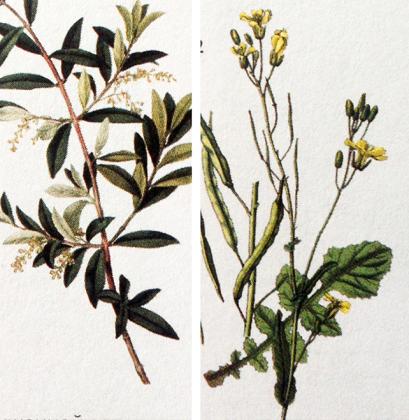 масличные растения