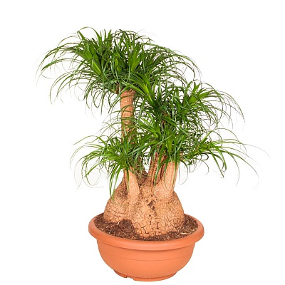 комнатная пальма нолина