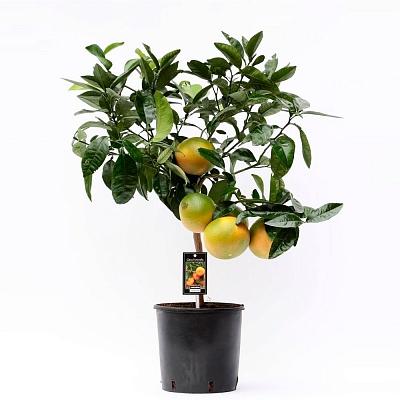 цитрофортунелла - комнатный мандарин