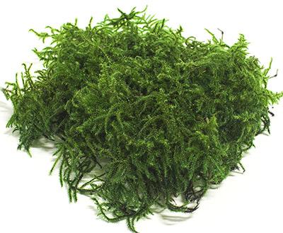 мох олений / лесной