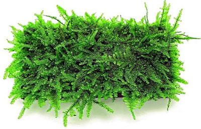 папортниковый мох