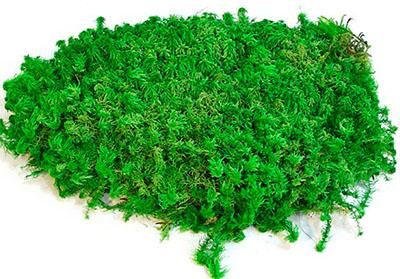 пластовый мох