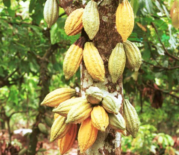 какао -шоколадные деревья