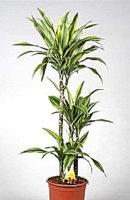 Драцена лемон лайм. диам 21 см/высота120 см -цена 5000 руб, выс. 150 см -цена 8000 руб.
