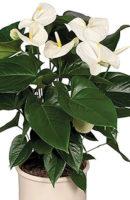 Антуриум белый. выс. 50 см, цена 1150 руб