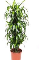 Драцена фраг. гавайи верт. диам.27/выс 140 см- цена 12500 руб., выс. 100 см- цена 6800 руб, выс.170 см -цена 18000 руб.