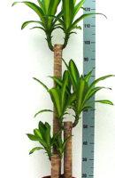 Драцена массанджеана верт. диам 24 см/ высота 110 см -цена 5000 руб, выс 180 см -цена 13500 руб