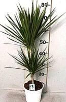 Драцена маргината. диам. 17 см/ высота 80 см -цена 3500 руб, выс 120 см -цена 5000 руб