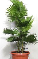 Ливинстона р. диам 30 см, выс. 110 см, цена -7000 руб