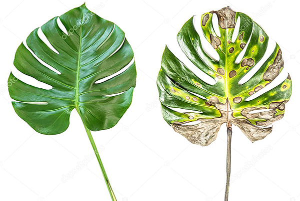 фитопатолог -услуга по лечению растений до и после